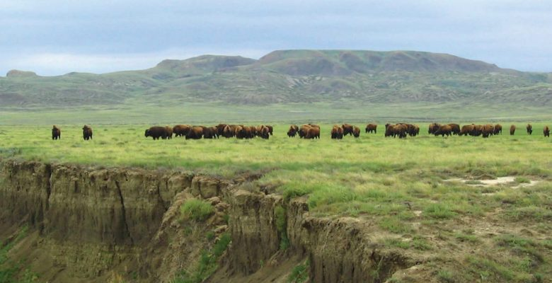 Bison Herd Grasslands National Park Saskatchewan