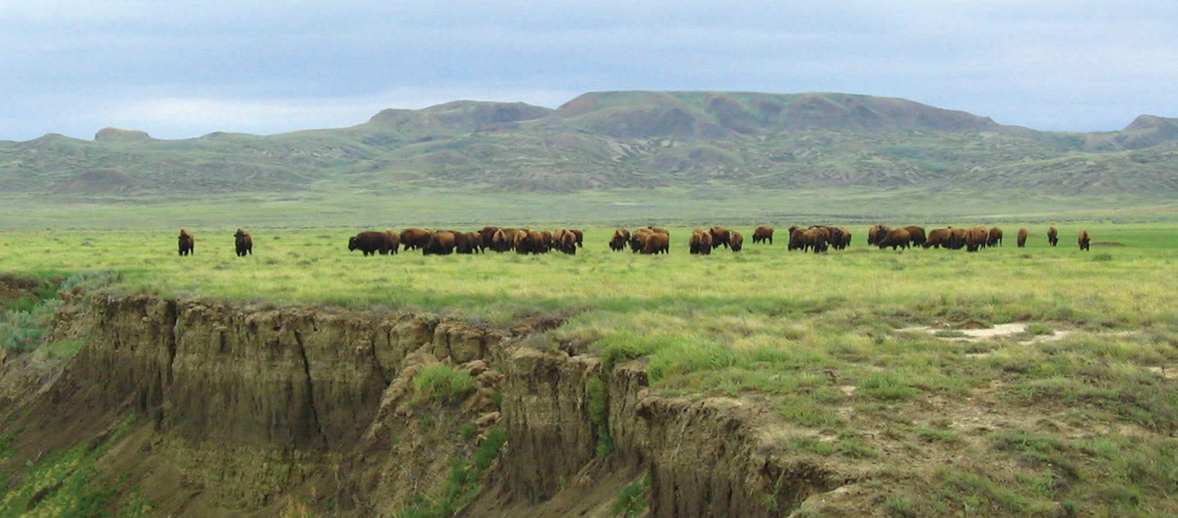 Bison Herd Grasslands National Park Saskatchewan